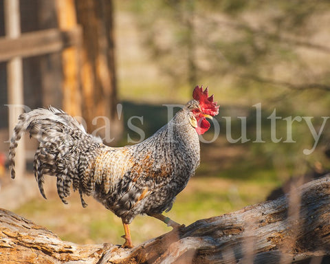 Auto-sexing- Cream Legbar Cockerel (hatch date 10/29/19)