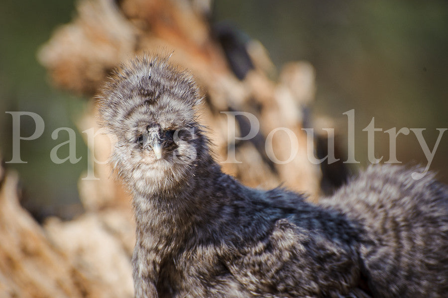 Bantam- Silkie/Sizzle/Satin/Frilkie Chick SOLD OUT INTO MAY