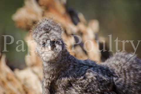 Bantam- Silkie/Sizzle/Frilkie Chick