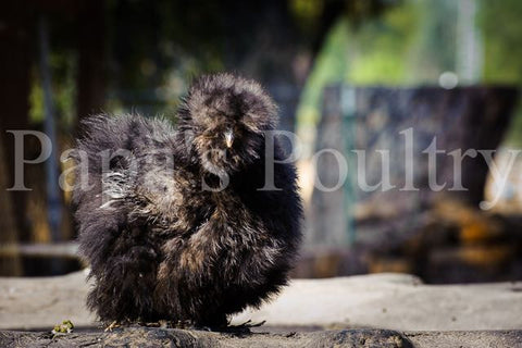 Bantams- Silkie, Sizzle frizzled and smooth possible, various colors chicks (hatch date 09/20/16)