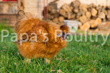 Bantam- Silkie/Sizzle/Frilkie Hatching Egg (available now)
