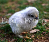 Marans- Lavender (project) Hatching Eggs (available now)