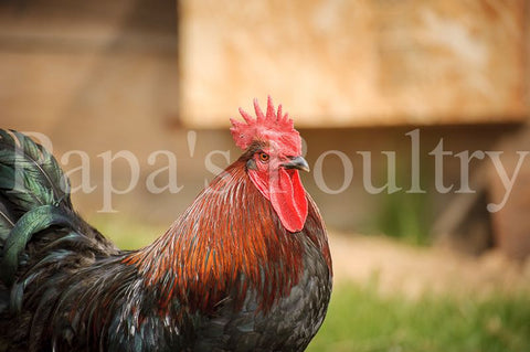 Marans- Blue/Black/Splash Copper Hatching Egg (available now)