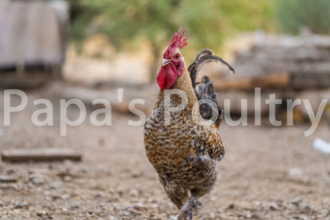 Auto-Sexing- Marans Golden Cuckoo Male