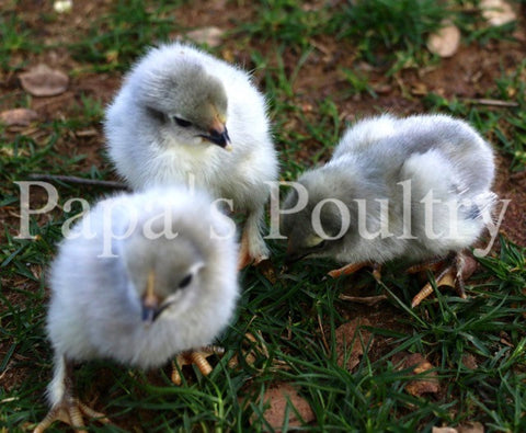 Marans- Black/Black split to Lavender/Lavender (project) Hatching Eggs (available now)