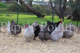 Orpington- Black split to Lavender/Lavender hatching egg