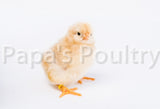 Orpington- Lemon Cuckoo Hatching Egg (available now)