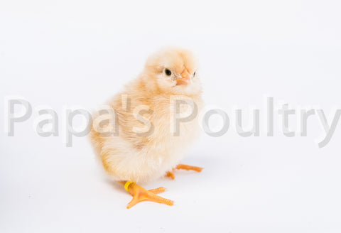 Orpington- Lemon Cuckoo Chick SOLD OUT THROUGH APRIL