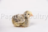 Orpington- Silver Laced Chick (hatch date 05/23/17)