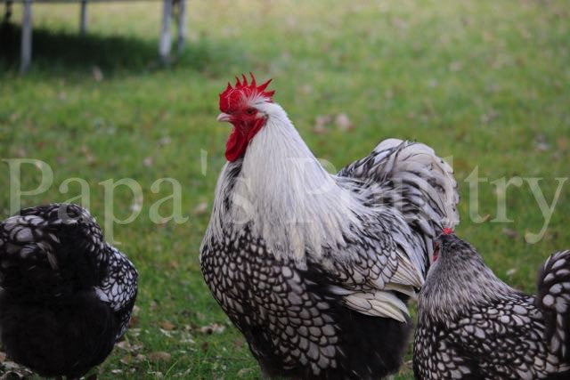 Orpington- Silver Laced Hatching Egg (available now)