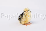 Orpington- Spangled/Mottled Chick