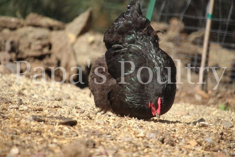 Orpington- Black Female Chick (pullet)