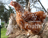 Orpington- Blue Jubilee/Jubilee (day old chicks)