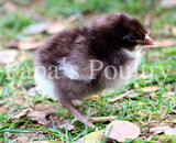 Orpington- Chocolate Split to Mottled Hatching Egg (available now)