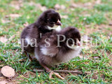Orpington- Chocolate Chick