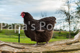 Orpington- Chocolate Female Chick (pullet)