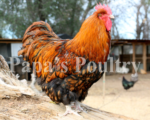 Orpington- Gold Laced Hatching Egg (available now)