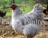 Orpington- Lavender hatching egg (available now)