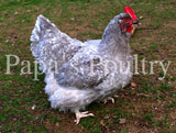 Orpington- Lavender Mottled/Mottled hatching egg (available now)