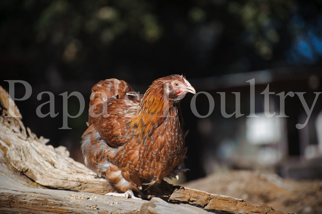 Orpington- blue, black, splash laced red (project) chick (hatch date 03/26/19)