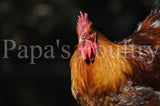 Orpington- blue, black, splash laced red (project) hatching egg (available now)