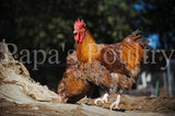 Orpington- blue, black, splash laced red (project) chick (hatch date 03/17/20)