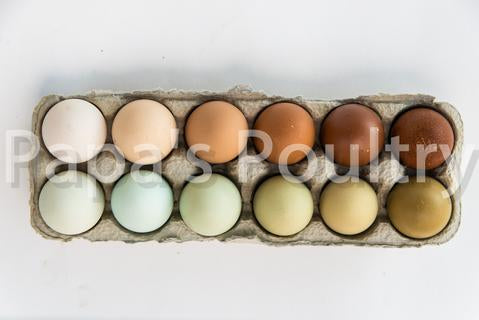Rainbow egg laying Pack of Pullets- 6 chicks (hatch date 06/18/19)