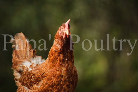 Auto-sexing- Rhodebar Female Chick (pullet)