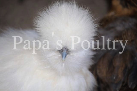 Bantam- Silkie Chick (hatch date 02/02/16)