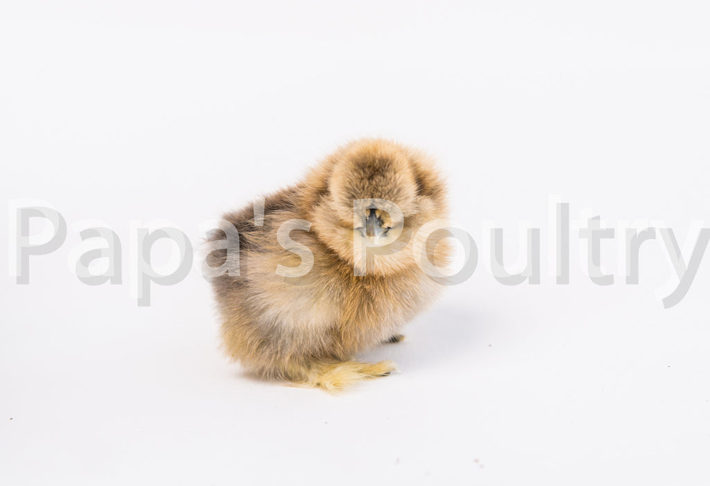 Bantam- Silkie Chick (Hatch Date 12/04/18)
