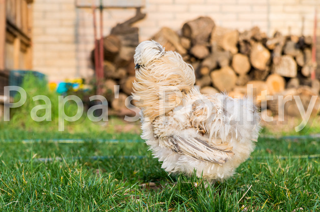 Bantam- Started frizzle chick (silkie or sizzle) (back ordered 2-3 months)