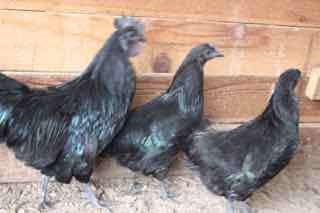 "Svart Hona- Swedish Black Hen Chick ""OK"" quality"