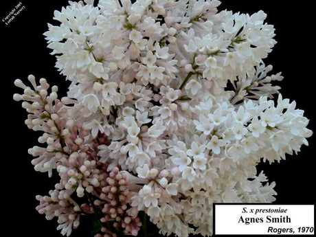 <span class='latin_name'>Syringa x josiflexa</span> 'Agnes Smith'  (S. Villosae Group)