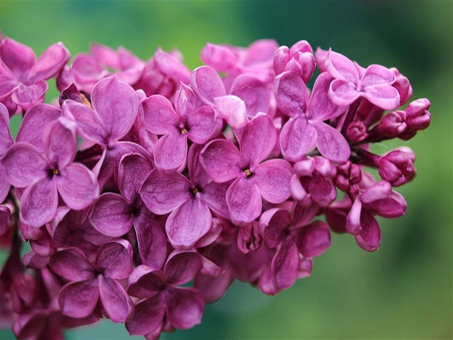 Lilac 'Andenken an Ludwig Spath'