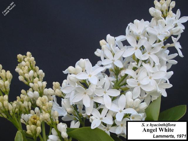 Lilac 'Angel White'