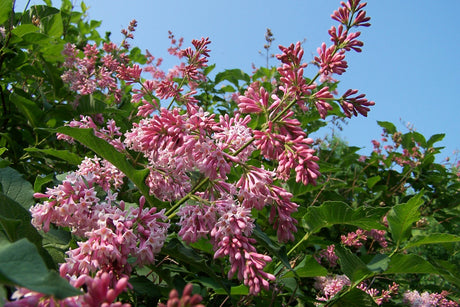 Syringa komarowii subsp. 'Beautiful Susan'