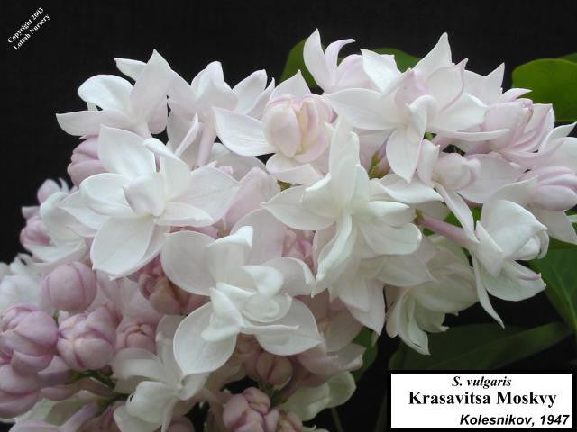 <span class='latin_name'>Syringa vulgaris</span> 'Krasavitsa Moskvy' ('Beauty of Moscow')