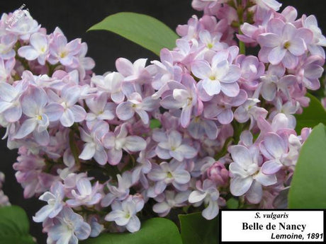 <span class='latin_name'>Syringa vulgaris</span> 'Belle de Nancy'