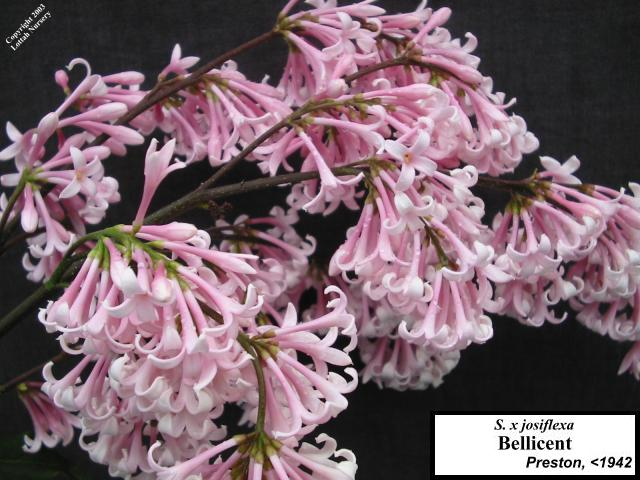 <span class='latin_name'>Syringa (Villosae Group)</span> 'Bellicent'