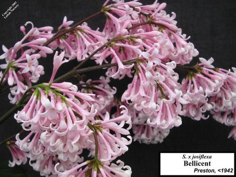 Lilac 'Bellicent'
