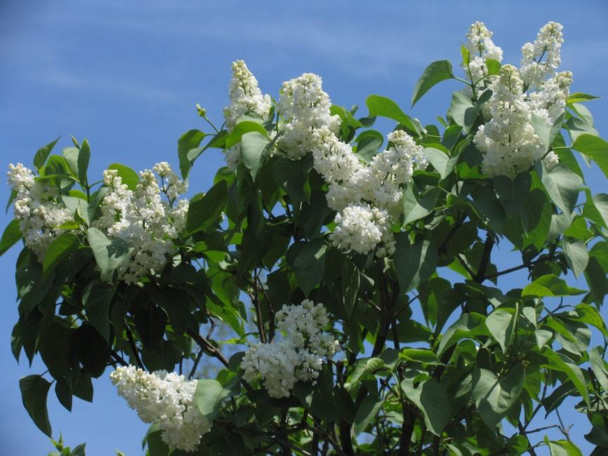 <span class='latin_name'>Syringa vulgaris</span> 'Fiala Remembrance'