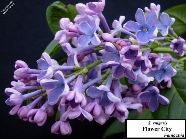 <span class='latin_name'>Syringa vulgaris</span> 'Flower City'