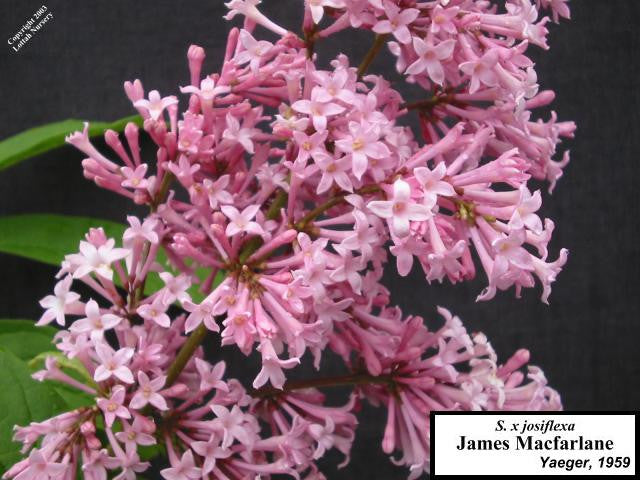 Lilac 'James Macfarlane'