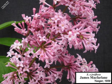 <span class='latin_name'>Syringa (Villosae Group)</span> 'James Macfarlane'