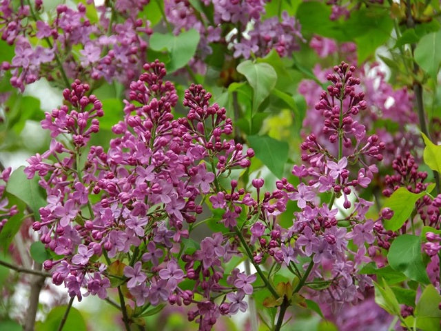 Lilac 'Asessippi'