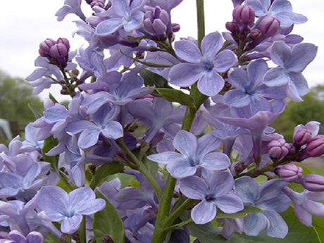 Lilac 'Wonderblue'