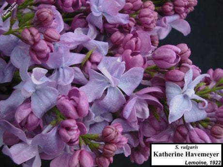 <span class='latin_name'>Syringa vulgaris</span> 'Katherine Havemeyer'