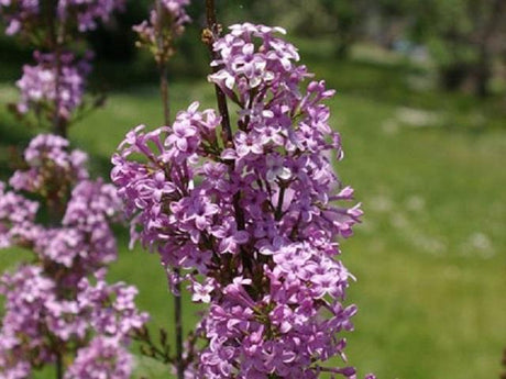 Lilac 'Lilac Sunday'
