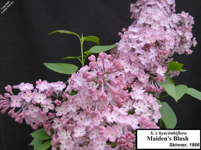 Lilac 'Maiden's Blush'