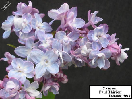 <span class='latin_name'>Syringa vulgaris</span> 'Paul Thirion'